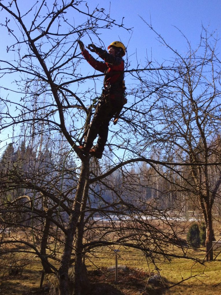 omenapuun leikkaus